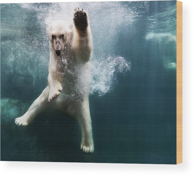Diving Into Water Wood Print featuring the photograph Polarbear In Water by Henrik Sorensen