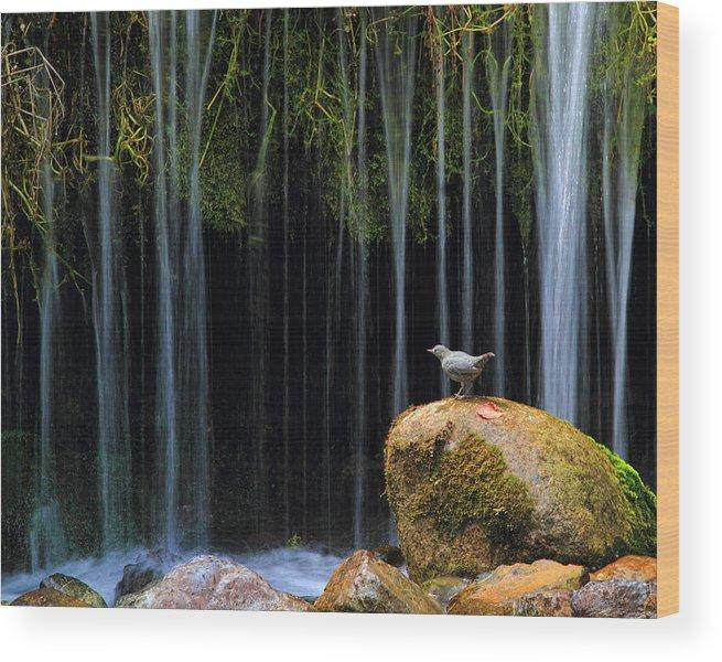 Bird Wood Print featuring the photograph Bird Bath by Gene Praag