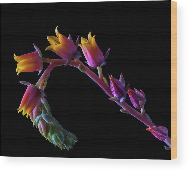 California Wood Print featuring the photograph Succulent Flowers On A Stalk by Bill Gracey