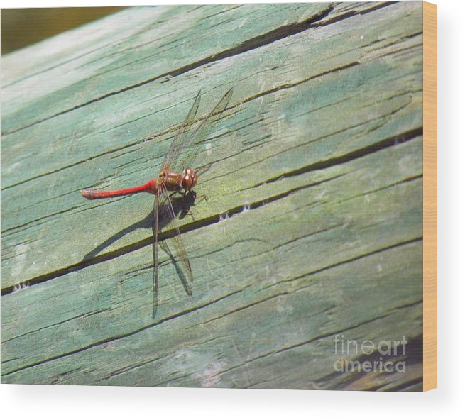 Damselfly Wood Print featuring the photograph Damselfly ready for liftoff by Rrrose Pix