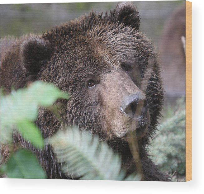 Northwest Trek Wood Print featuring the photograph Grizzley - 0005 by S and S Photo
