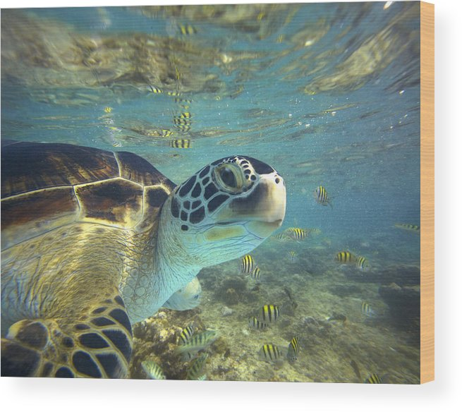 00451417 Wood Print featuring the photograph Green Sea Turtle Balicasag Island by Tim Fitzharris