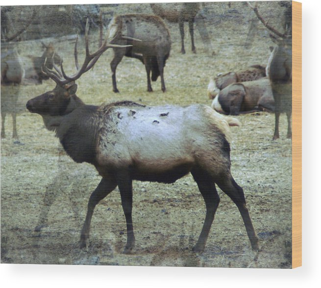 Elk Wood Print featuring the photograph A Bull Elk by Jeff Swan