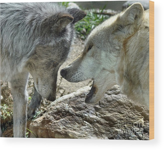 Diane Berry Wood Print featuring the photograph Druid Pack Yellowstone by Diane E Berry