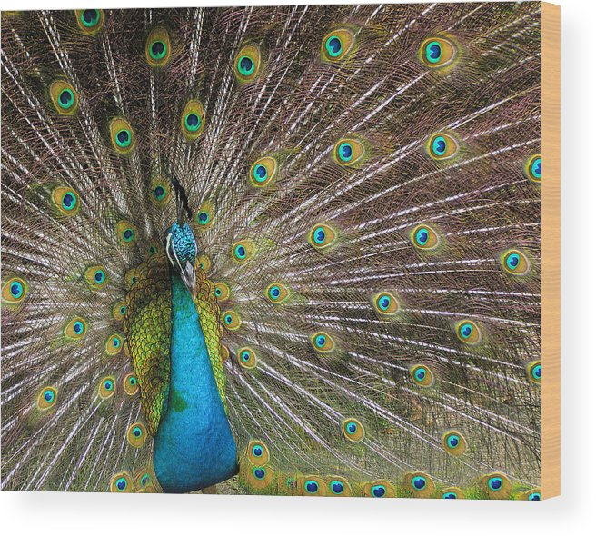 Avian Wood Print featuring the photograph Fanfare by Alana Thrower