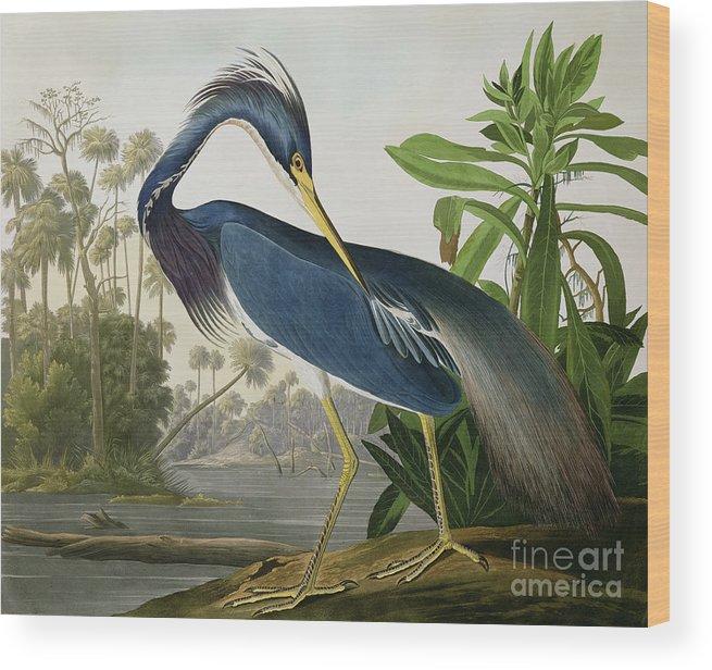 Louisiana Heron Wood Print featuring the painting Louisiana Heron by John James Audubon