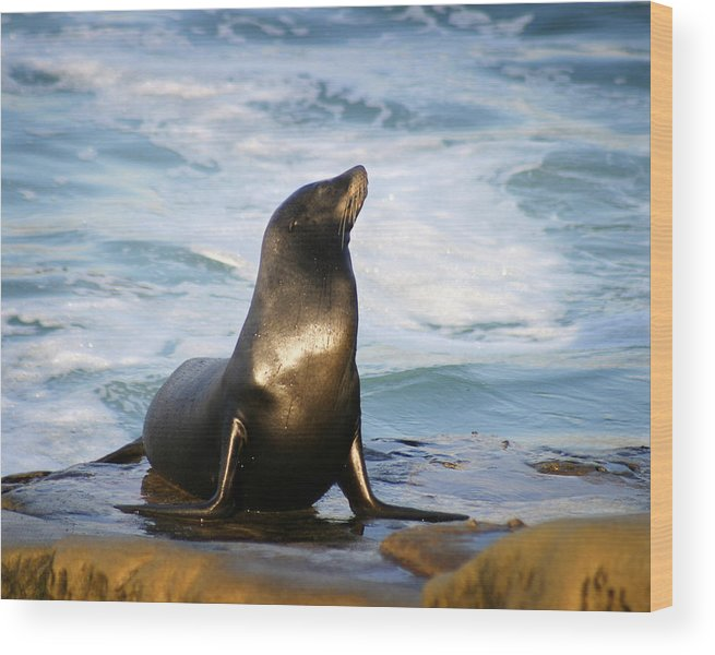 Sealion Wood Print featuring the photograph Sealion by Anthony Jones