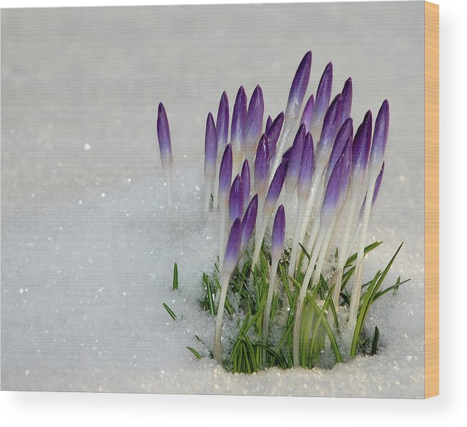 Spring Wood Print featuring the photograph Spring Snow by Lisa Kane