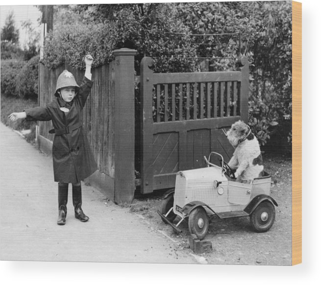 Pets Wood Print featuring the photograph Doggy Driver by Fox Photos