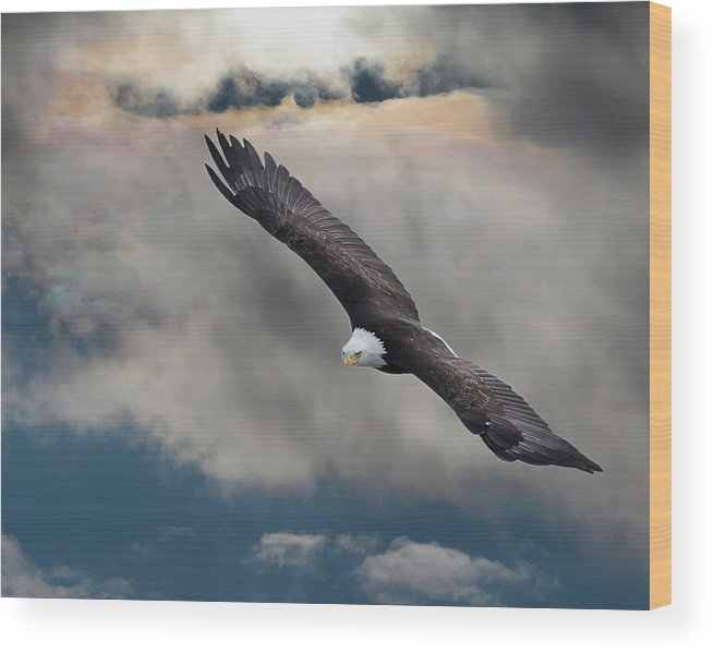 Bird Of Prey Wood Print featuring the photograph An Eagle In Flight Rising Above The by Design Pics / Robert Bartow