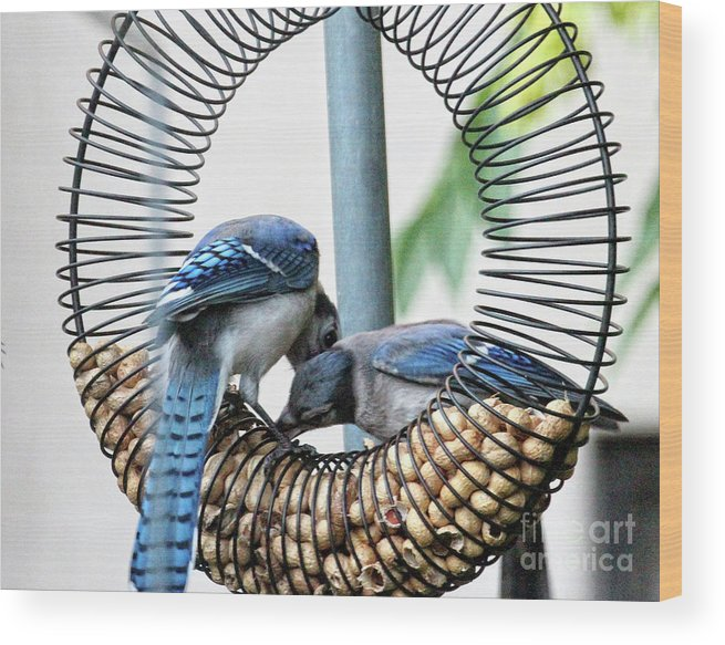 Female Blue Jay Wood Print featuring the photograph Blue Jays Wooing 1 by Patricia Youngquist