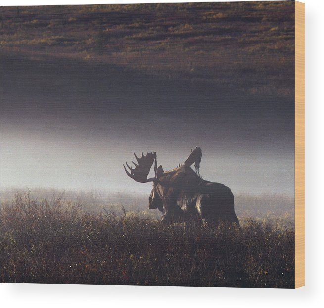 Majestic Wood Print featuring the photograph Bull Moose Alces Alces Walking Through by Johnny Johnson