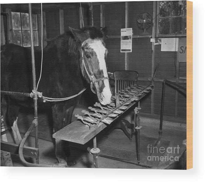 Richmond Wood Print featuring the photograph Lady Wonder The Talking Horse by Bettmann