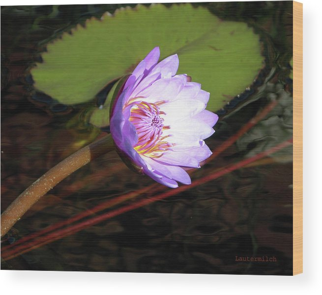 Water Lily Wood Print featuring the photograph Lily Enjoying the Sunlight by John Lautermilch
