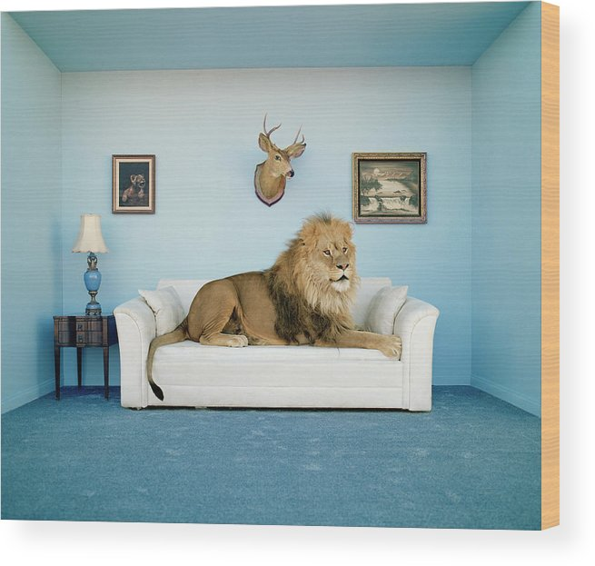 Pets Wood Print featuring the photograph Lion Lying On Couch, Side View by Matthias Clamer