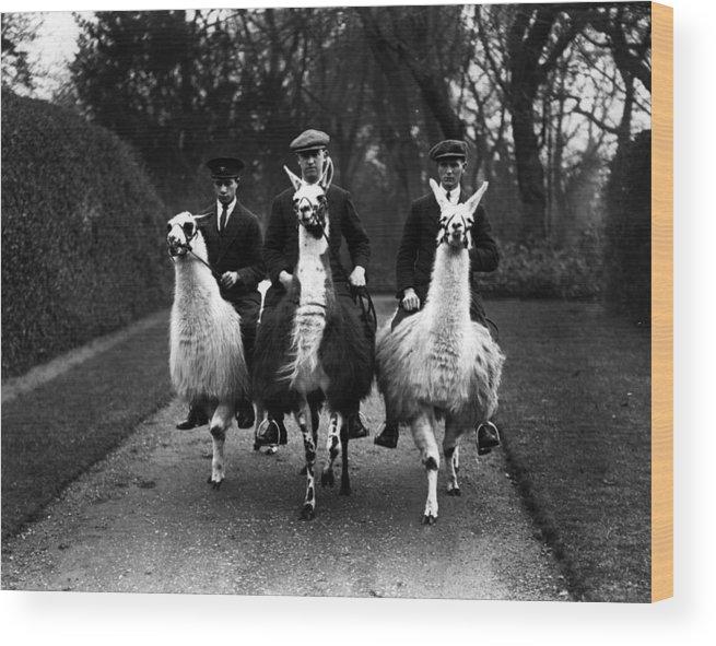 Animal Themes Wood Print featuring the photograph Llama Ride by Fox Photos