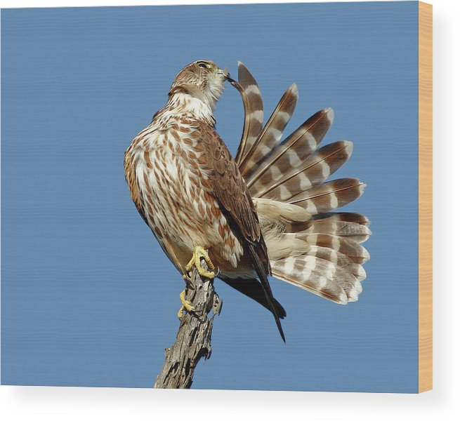 Animal Themes Wood Print featuring the photograph Merlins Grooming Session by Bmse