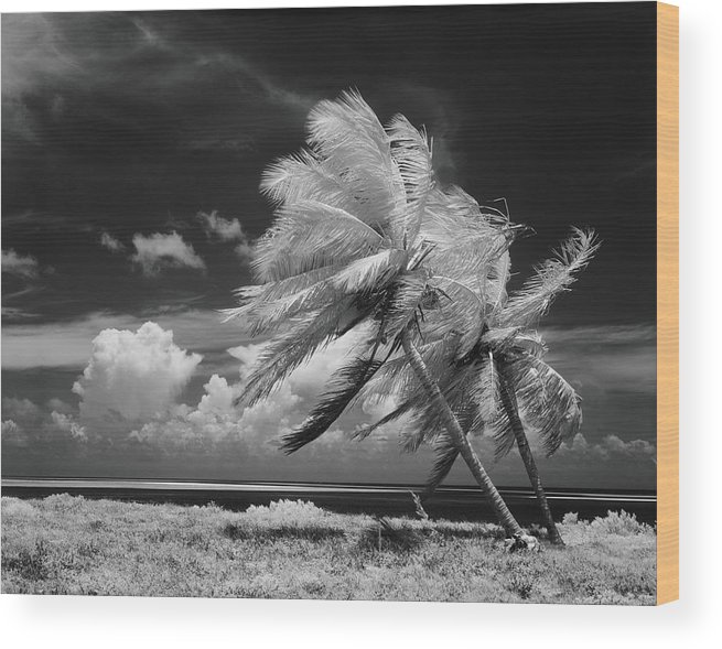 Scenics Wood Print featuring the photograph Palm Trees Blowing In Wind by H. Armstrong Roberts
