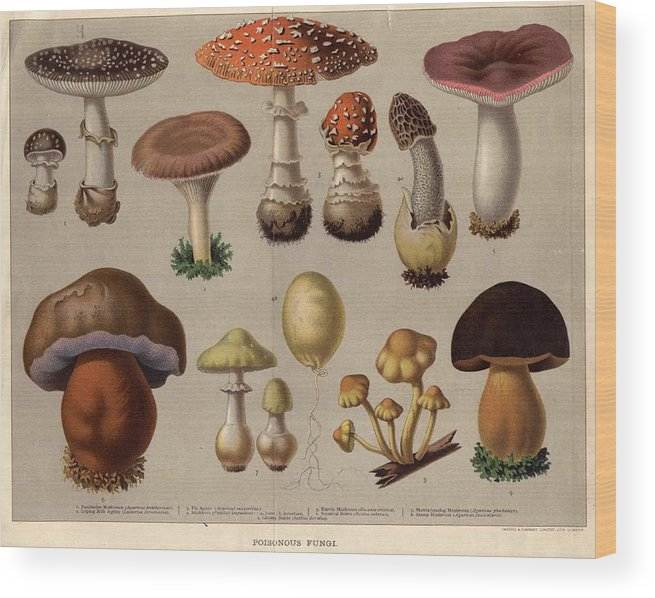Milk Wood Print featuring the digital art Poisonous Fungi by Hulton Archive