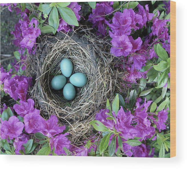 Security Wood Print featuring the photograph Robins Nest In Azalea Bush, Spring by Art Wolfe