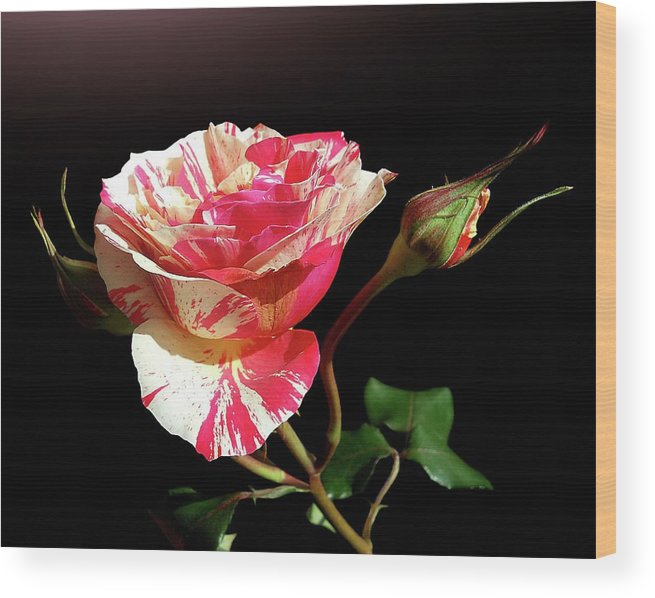 Bud Wood Print featuring the photograph Rose With Two Buds by Gitpix