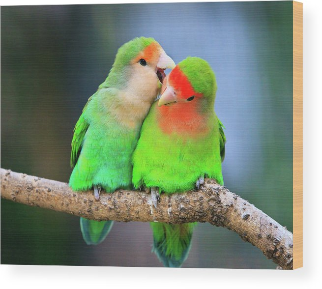 Togetherness Wood Print featuring the photograph Two Peace-faced Lovebird by Feng Wei Photography