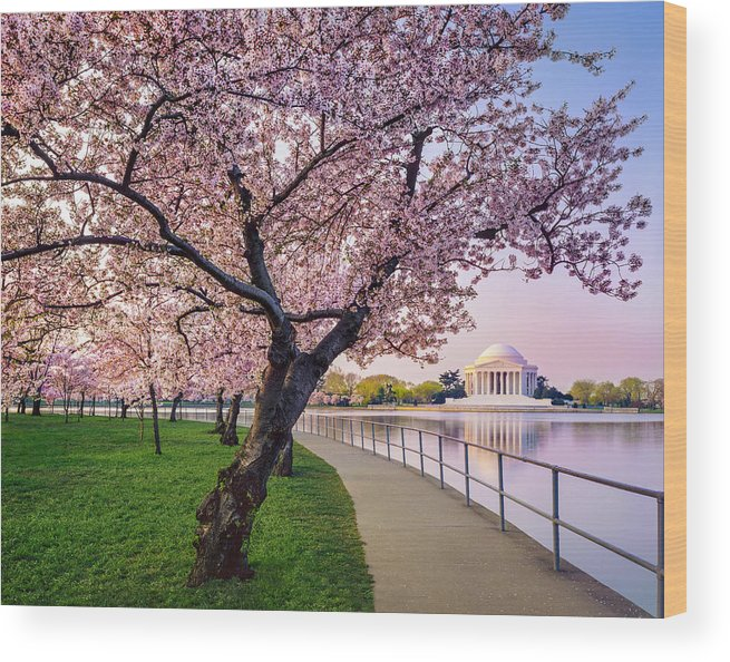 Tidal Basin Wood Print featuring the photograph Washington Dc Cherry Trees, Footpath by Dszc