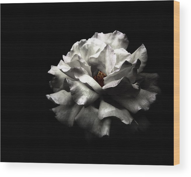 Black Background Wood Print featuring the photograph White Rose by Lola L. Falantes