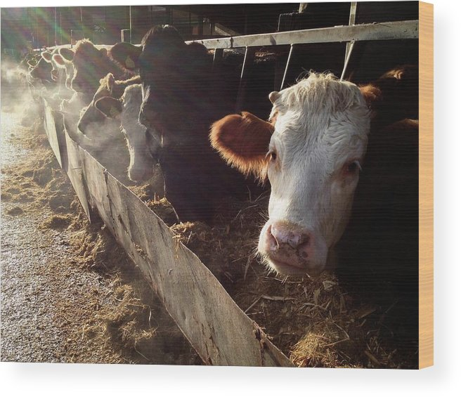 In A Row Wood Print featuring the photograph Cows Looking Out Of A Barn by James Ephraums