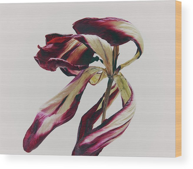 White Background Wood Print featuring the photograph Dead Flower by Stilllifephotographer