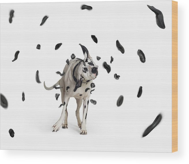 Pets Wood Print featuring the photograph Shake The Spots Off by Gandee Vasan
