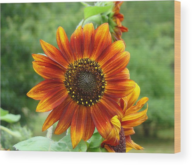 Red Sunflower Wood Print featuring the photograph Sunflower by Lisa Rose Musselwhite