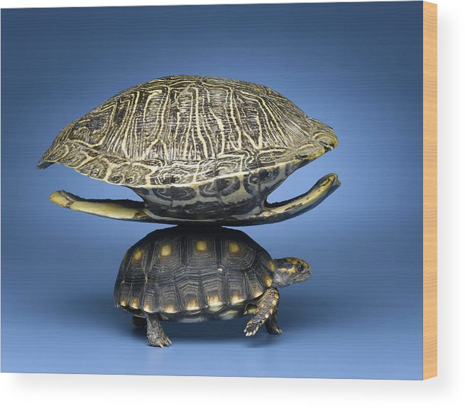 Horizontal Wood Print featuring the photograph Turtle With Larger Shell On Back by Jeffrey Hamilton