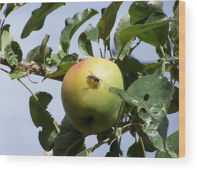 Apple Wood Print featuring the photograph Apple Bee by Gene Ritchhart