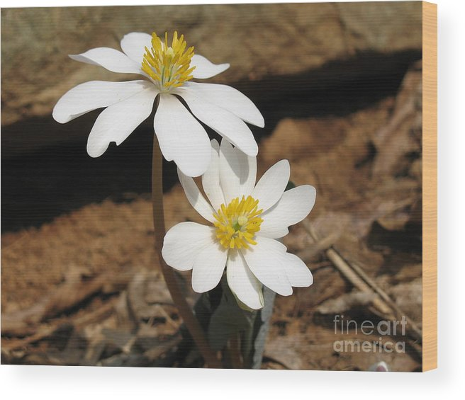Bloodroot Wood Print featuring the photograph Bloodroot by Steve Gass