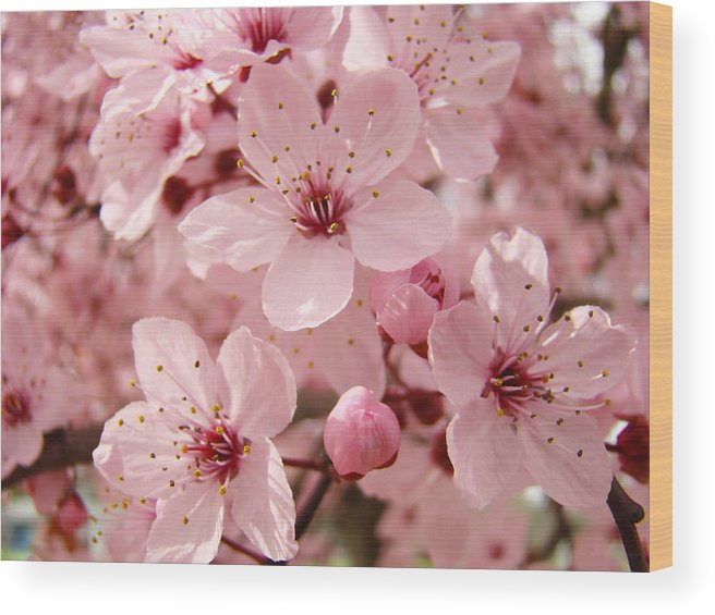 Nature Wood Print featuring the photograph Blossoms Art Prints 63 Pink Blossoms Spring Tree Blossoms by Baslee Troutman