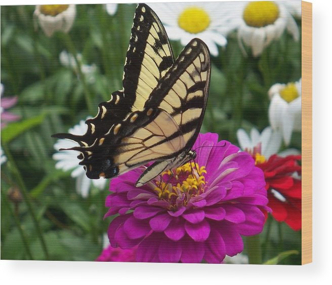 Butterfly Photos Wood Print featuring the photograph Butterfly on Zennia by Ellen B Pate