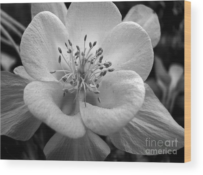 Flowers Wood Print featuring the photograph Columbine by Amanda Barcon