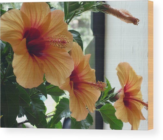 Photography Flower Floral Bloom Hibiscus Peach Wood Print featuring the photograph Friends for a day by Karin Dawn Kelshall- Best