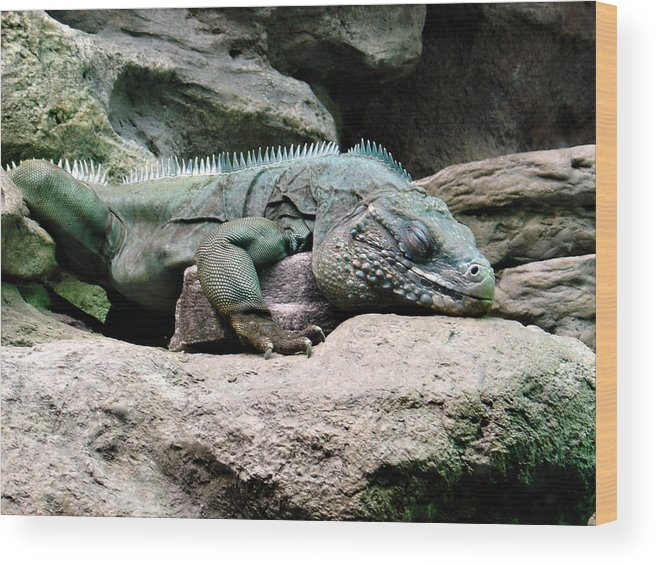 Lizard Wood Print featuring the photograph Grand Cayman Blue Iguana by Angelina Tamez
