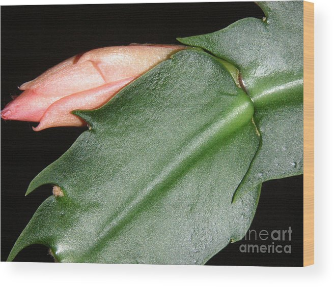 Nature Wood Print featuring the photograph Holiday Cactus - Budding by Lucyna A M Green