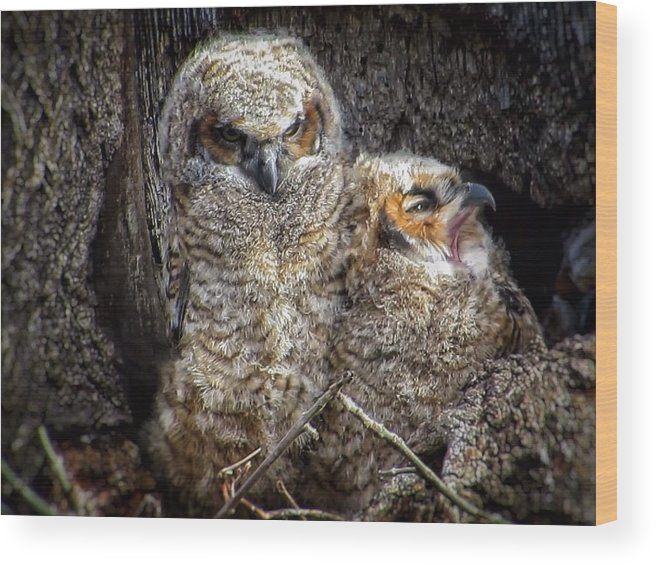 Great Horned Owl Wood Print featuring the photograph Nap time by Rrrose Pix