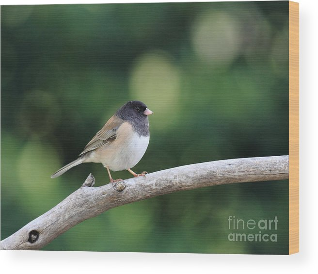 Wildlife Wood Print featuring the photograph Oregon Junco by Wingsdomain Art and Photography