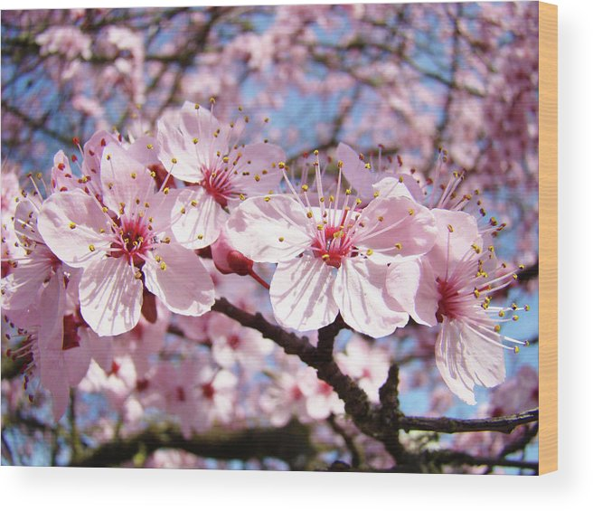 Nature Wood Print featuring the photograph Pink Spring Blossoms Art Print Blue Sky Landscape Baslee Troutman by Baslee Troutman