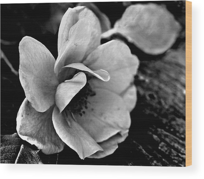 Ansel Adams Wood Print featuring the photograph Wild Rose and Salvaged Barn Wood by Curtis J Neeley Jr