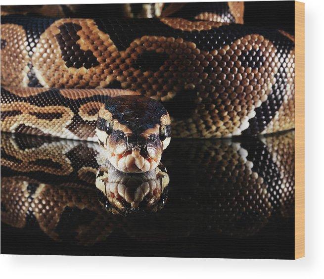 Copenhagen Wood Print featuring the photograph Burmese Python by Henrik Sorensen