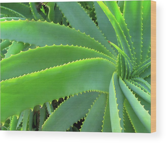 Natural Pattern Wood Print featuring the photograph Aloe Vera - Healing Plant by Lubilub