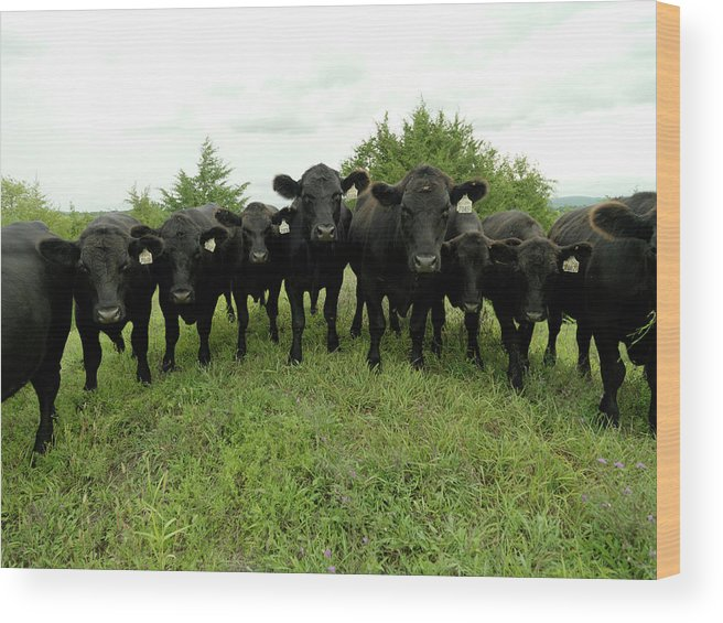 Grass Wood Print featuring the photograph Black Angus Cows by Xpacifica
