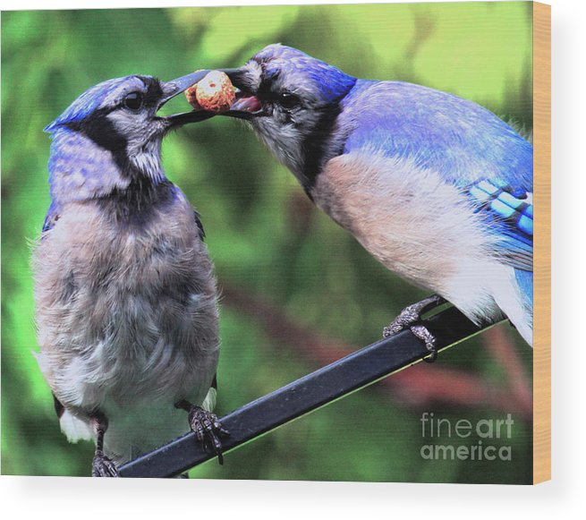Wildlife Wood Print featuring the photograph Blue Jays Wooing 2 by Patricia Youngquist