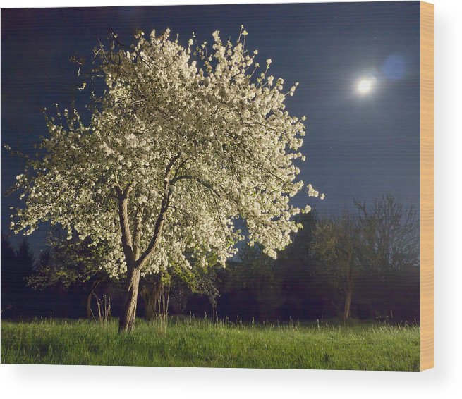 Apple Blossom Wood Print featuring the photograph Moonlit Blooming Tree by Bernd Schunack